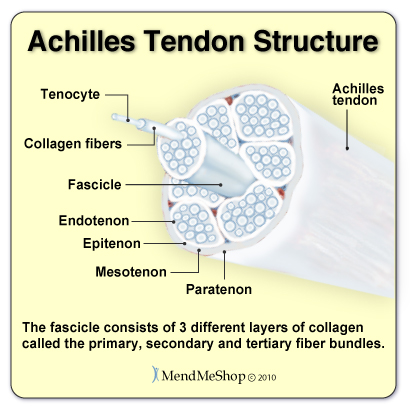 Achilles Tendon collagen fibers run parallel in layers creating a strong structure that stretches and recoils as you contract and relax your muscles.