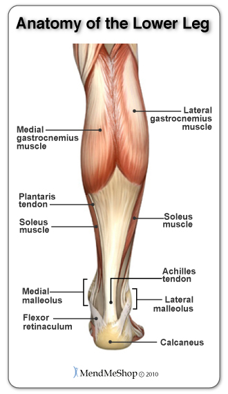 Tennis Leg and the calf muscles the gastrocenemius and soleus muscles.